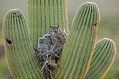 Grand-duc d'Amérique (Bubo virginianus) nichant dans un Saguaro (Carnegiea gigantea), Désert du Sonora, Arizona