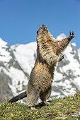 Alpine marmot ( Marmota marmota), standing in front of a mountain, National Park Hohe Tauern, Austria