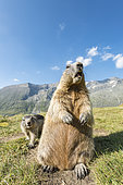 Alpine marmot ( Marmota marmota), standing, Wideangle, National Park Hohe Tauern, Austria