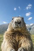 Alpine marmot ( Marmota marmota), curious and close-up, Wideangle, National Park Hohe Tauern, Austria