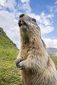 Alpine marmot ( Marmota marmota), curious, National Park Hohe Tauern, Austria