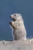 Alpine marmot ( Marmota marmota), subadult, National Park Hohe Tauern, Austria