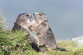 Alpine marmot ( Marmota marmota), two subadults play-fighting, National Park Hohe Tauern, Austria