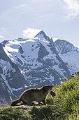 Alpine marmot ( Marmota marmota), in front of Grossglockner - Austria's highest mountain, National Park Hohe Tauern, Austria