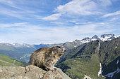 Alpine marmot ( Marmota marmota), in front of mountains, National Park Hohe Tauern, Austria