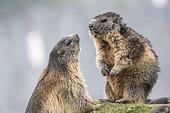 Alpine marmot ( Marmota marmota), two adults, National Park Hohe Tauern, Austria
