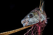 Fish in the net, Napoli, Italy, Tyrrhenian Sea