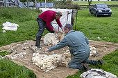 farmer checking the sheep fleece, England