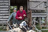 Farmers checking sheep, England