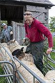 farmer worming sheep, england