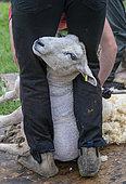 Shearer shearing sheep, England