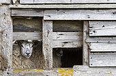 Sheep ( Ovis aries) inside an old barn, England