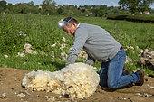 farmer checking the sheep fleece