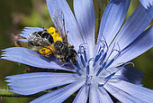 Grey-banded Mining Bee (Andrena denticulata) female on Chicory (Cichorium intybus), Regional Natural Park of Northern Vosges, France