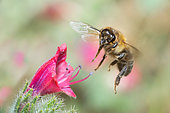 Honeybee (Apis mellifera) in flight, Crete, Greece