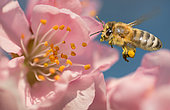 Honeybee (Apis mellifera) on Almond blossom (Prunus dulcis), Regional Natural Park of Northern Vosges, France