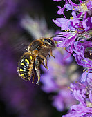 Potter bee (Anthidium septemspinosum) on Spiked purple loose-strife (Lythrum sp), Pays de Loire, France