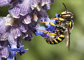Potter Bee (Anthidium florentinum) foraging, Mont Ventoux, Provence, France