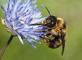 Fork-tailed Flower-bee (Anthophora furcata) on Sheep's-bit (Jasione montana), Regional Natural Park of Northern Vosges, France