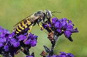 Sand wasp (Bembix oculata) on Garden heliotrope (Heliotropium arborescens), Pays de Loire, France