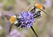 Moss Carder Bee (Bombus muscorum) foraging on Devilsbit (Succisa pratensis), Pays de Loire, France