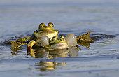 Green Frogs (Rana esculenta) in the water, Danube Delta, Romania