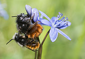 Hornfaced bee (Osmia cornuta) mating on Squill (Scilla bifolia), Regional Natural Park of Northern Vosges, France