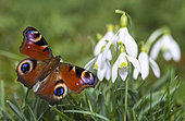 Peacock of the day (Inachis io) on Snowdrops (Galanthus nivalis), sunbath after hibernation, Regional Natural Park of Northern Vosges, France