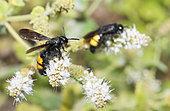 Hairy Flower Wasp (Scolia hirta) on Spearmint (Mentha spicata), Pays de Loire, France