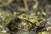 Marsh Frog (Rana ridibunda, Syn: Pelophylax ridibundus)