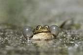 Marsh Frog (Rana ridibunda, Syn: Pelophylax ridibundus) with expanded vocal sacs
