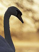 A Mute swan (Cygnus olor) in the Peak District National Park, UK.