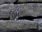 A Little Owl (Athene noctua) in the Peak District National Park, UK.