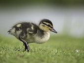 A Mallard (Anas platyrhynchos) duckling in the Peak District National Park, UK.