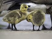 Canada Goose (Branta canadensis) two Canada Goslings in the Peak District National Park, UK.