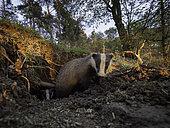 Two Eurasian Badgers (Meles meles) emerge from their sett in the Peak District National Park, UK.