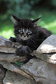 Maine Coon kitten on a dry stone wall