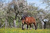 Cheval ardennais au pré, étalon, Territoire de Belfort, France