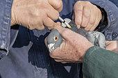 Vaccination of a competition pigeon, Pas de Calais, France