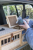 Placing pigeons into a basket before releasing them for training, Pas de Calais, France