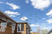 Pigeons returning to the dovecote, Pas-de-Calais, France