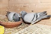 Couple of Pigeons in their dovecote, Pas de Calais, France