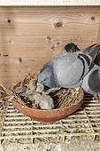 Female pigeon feeding her chicks, Pas-de-Calais, France