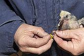 Tagging of a young pigeon, Pas de Calais, France