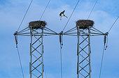 White Stork (Ciconia ciconia) nesting on pylons, Montaña Palentina, Palencia, Castilla y Leon, Spain, Europe
