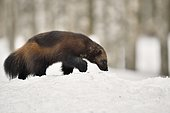 Wolverine (Gulo gulo) in the snow in the boreal forest, Finland