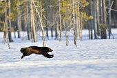 Glouton (Gulo gulo) courant dans la neige en foret boréale ,Finlande