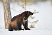 Wolverine (Gulo gulo) running in snow in the boreal forest, Finland