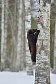 Glouton (Gulo gulo) grimpant a un arbre en foret boréale, Finlande