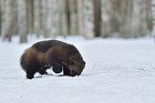 Glouton (Gulo gulo) dans la neige en foret boréale, Finlande